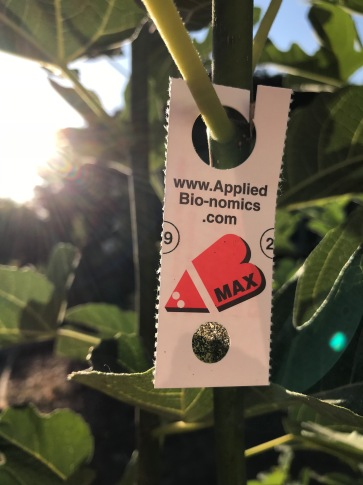 AppliedBio-nomics.com parasite for whitefly