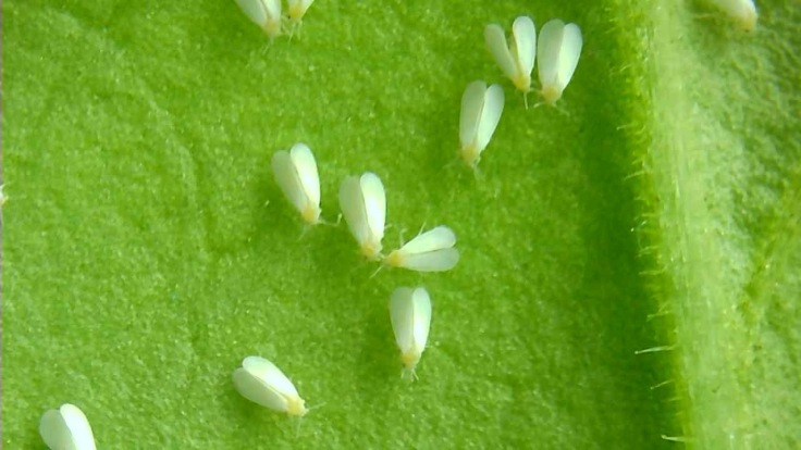 whitefly adults