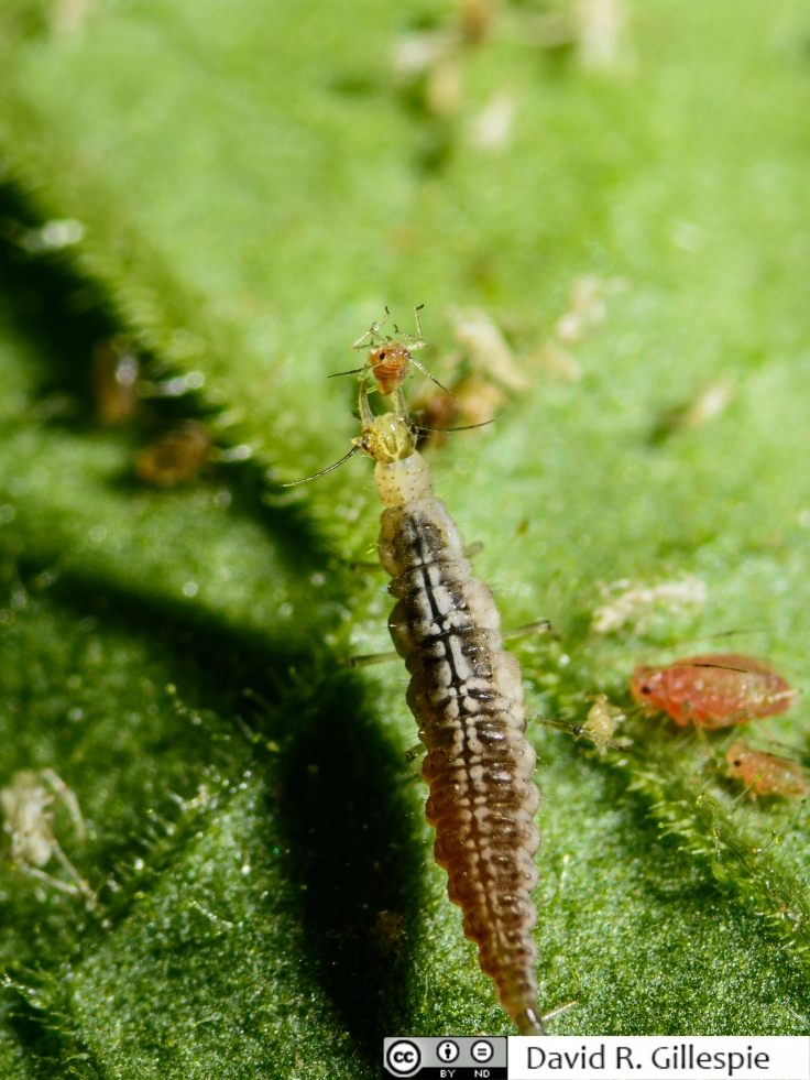 Mv larva eating
