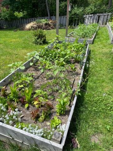 Lettuces June 2020